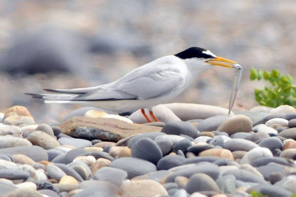 little-tern-on-cobbled-beach-with-fish-prey-in-beak