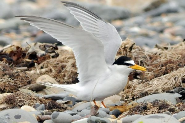 little-tern-wings-stretched-on-seashore