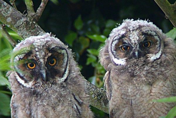 long-eared-owl-chicks-side-by-side-in-tree