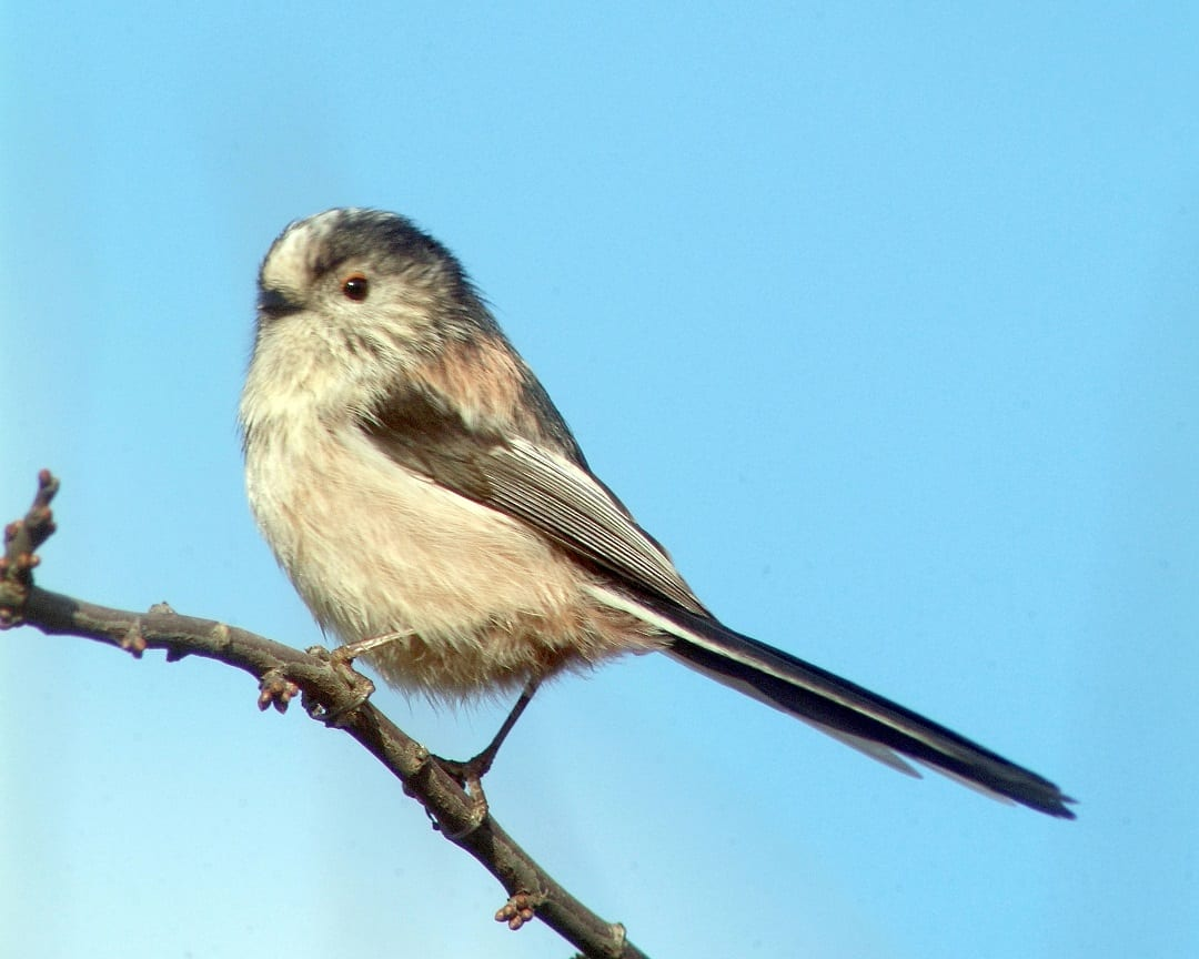 long-tailed-tit-perching-blue-sky-background
