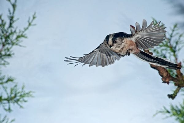 long-tailed-tit-in-flight
