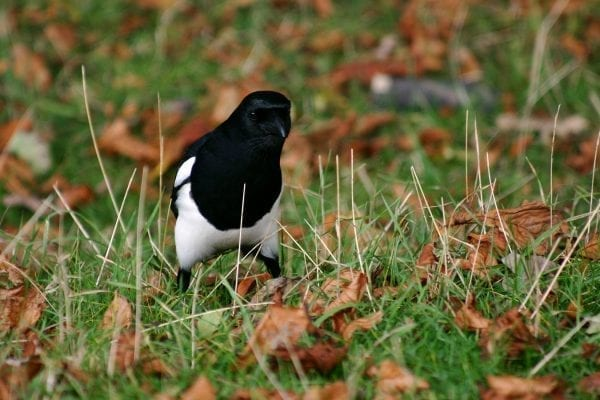 magpie-standing-in-leaf-litter-searching-for-insects