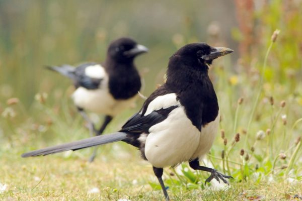 two-magpies-marching-across-dry-grassland