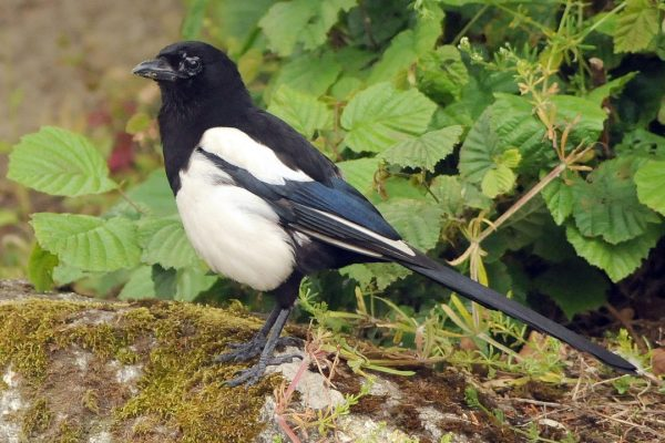 magpie-standing-on-moss-covered-rock
