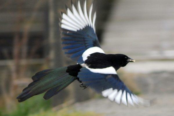 magpie-in-flight