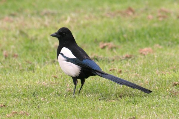 magpie-standing-in-green-grass