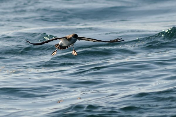 manx-shearwater-flying-over-the-sea