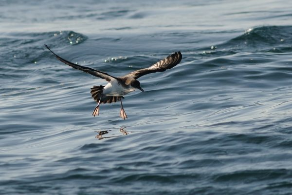 manx-shearwater-flying-over-water