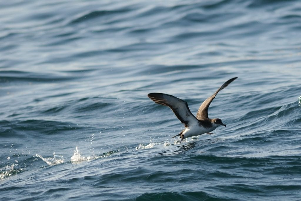 manx-shearwater-taking-off-over-water