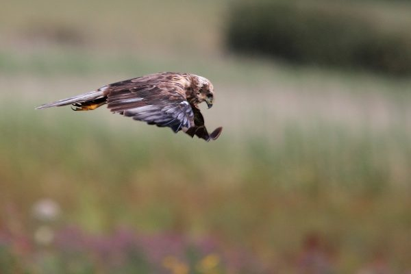 marsh-harrier-hunting