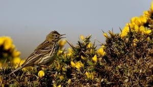 meadow-pipit-singing-amongst-gorse
