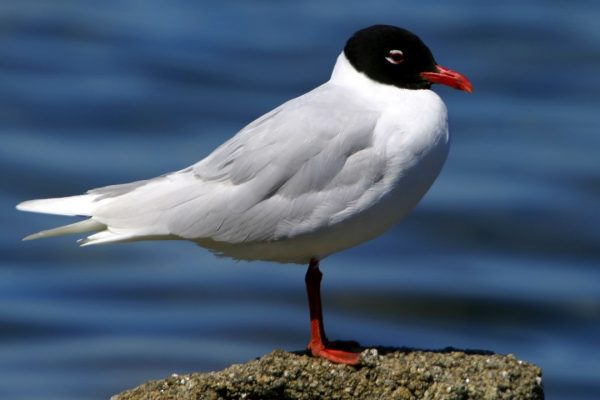 mediterranean-gull-standing-on-rock-sea-background