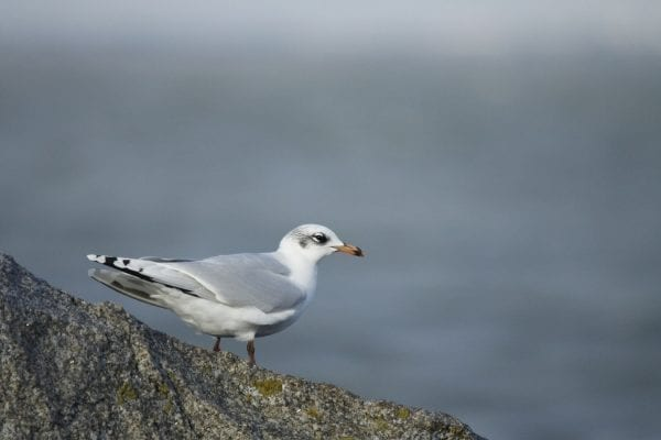 mediterranean-gull-on-rock