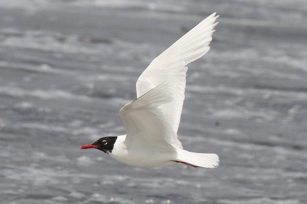 mediterranean-gull-flying