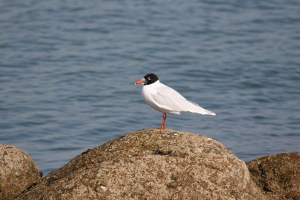 mediterranean-gull-standing-on-boulder-sea-background