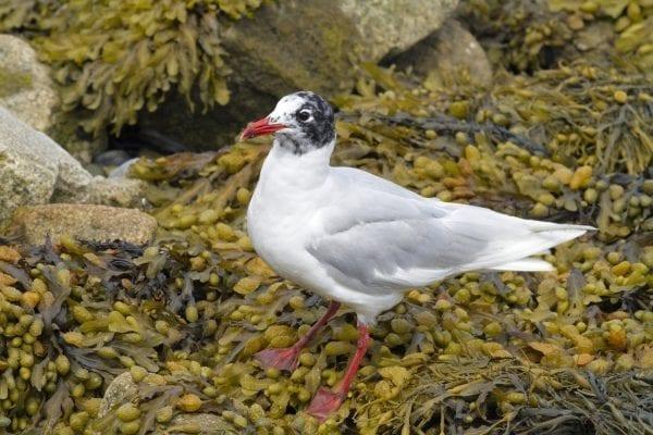 mediterranean-gull-standing-on-seaweed