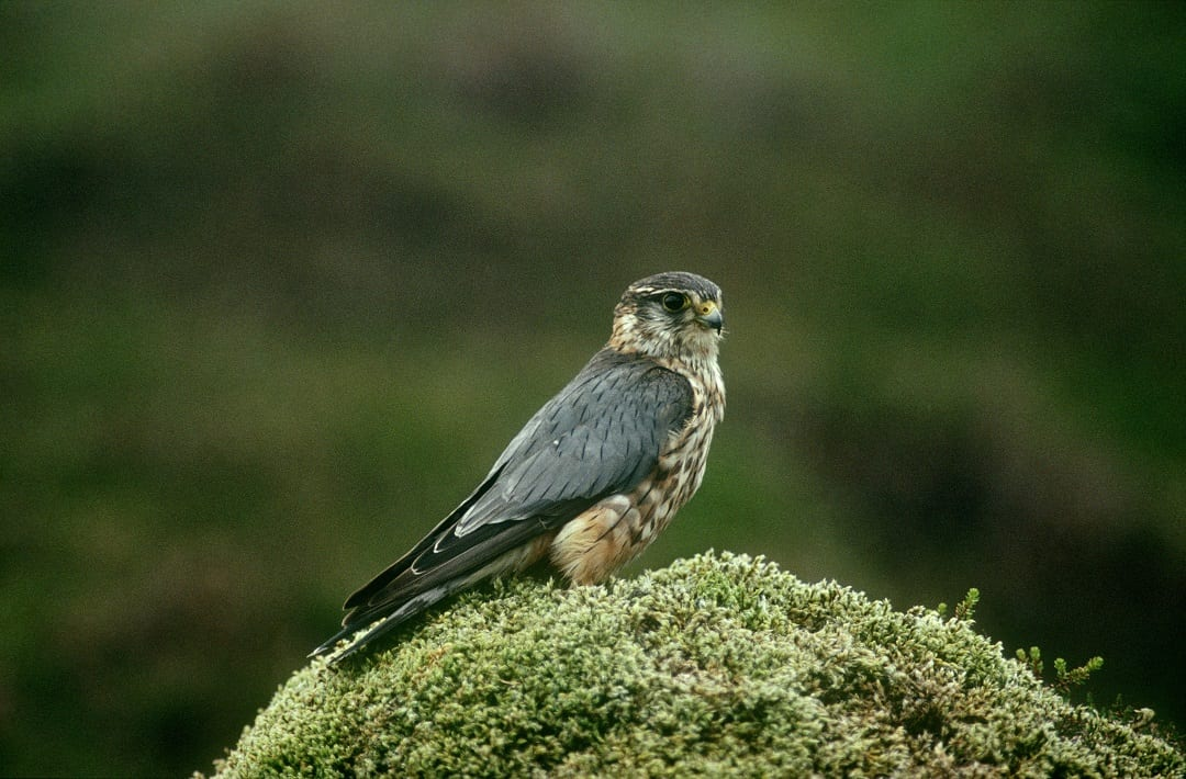 merlin-standing-on-mossy-rock