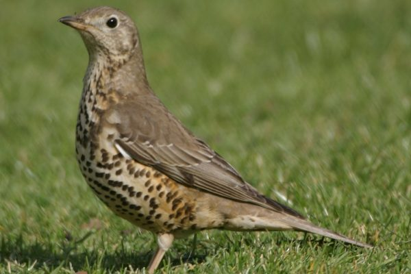 mistle-thrush-standing-in-grass