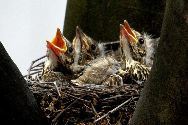 mistle-thrush-chicks-in-nest