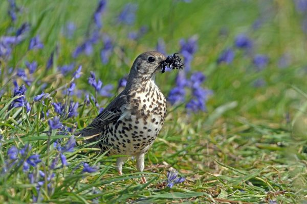 mistle-thrush-standing-amid-bluebells-with-prey-in-beak