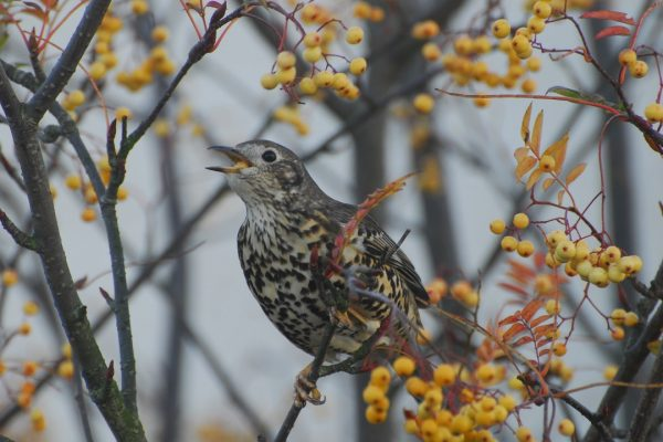 mistle-thrush-singing-from-branch