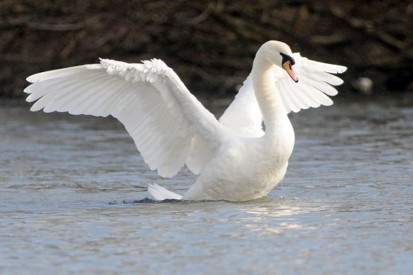 mute-swan-stretching-wings-on-water