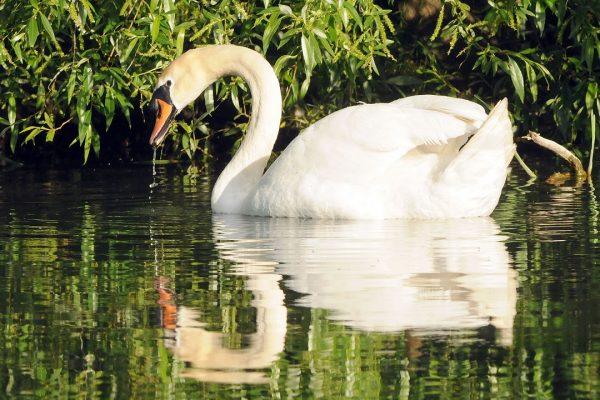 mute-swan-swimming-under-bushes