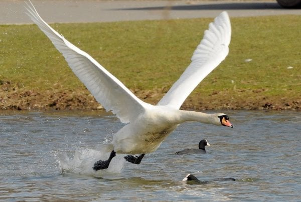 mute-swan-with-coots-on-water-flying