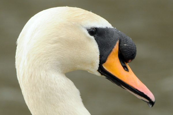 mute-swan-head-close-up