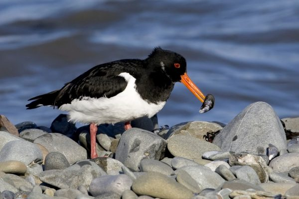 oystercatcher-with-mussel-prey-in-beak