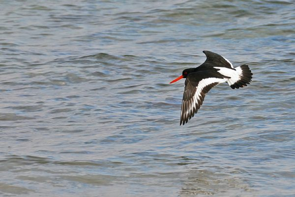 oystercatcher-flying-over-sea