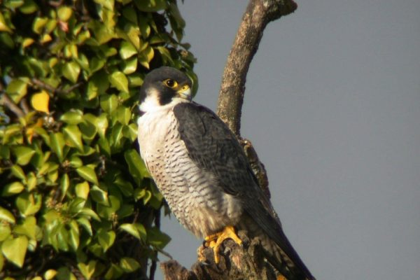 peregrine-falcon-perched-on-branch