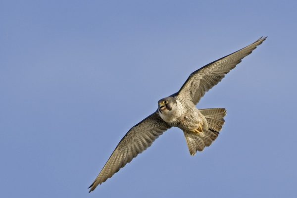 peregrine-falcon-in-flight-blue-sky-background