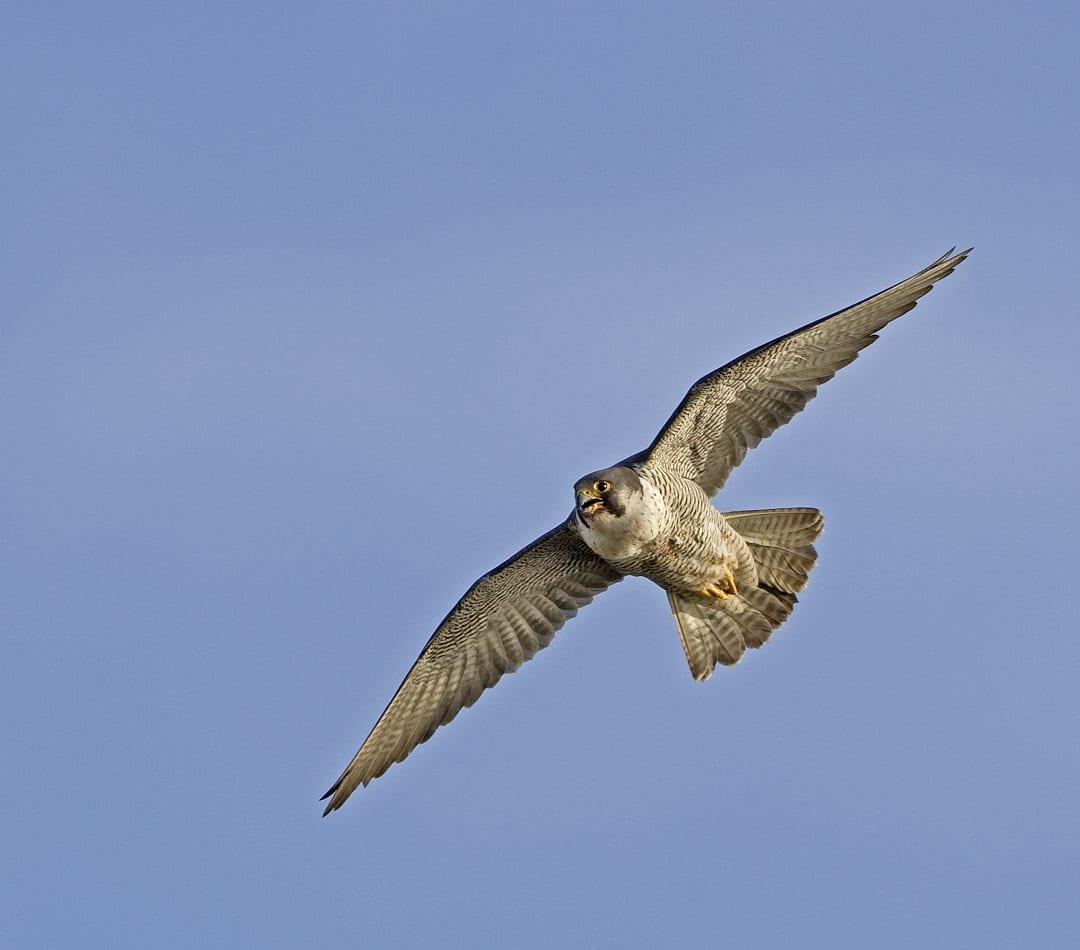 peregrine-falcon-in-flight-blue-sky-background