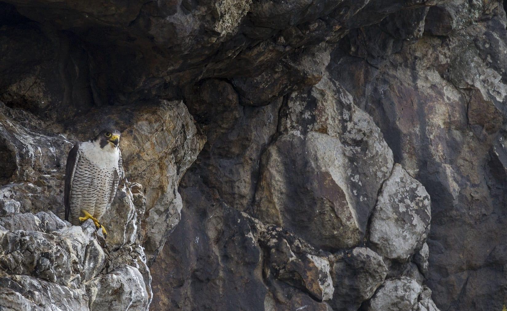 peregrine-falcon-perched-on-cliff