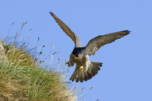peregrine-falcon-swooping-in-for-the-kill-toward-grass-bank