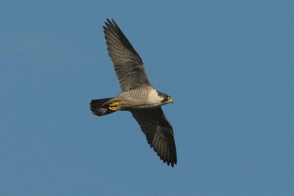 peregrine-falcon-in-flight