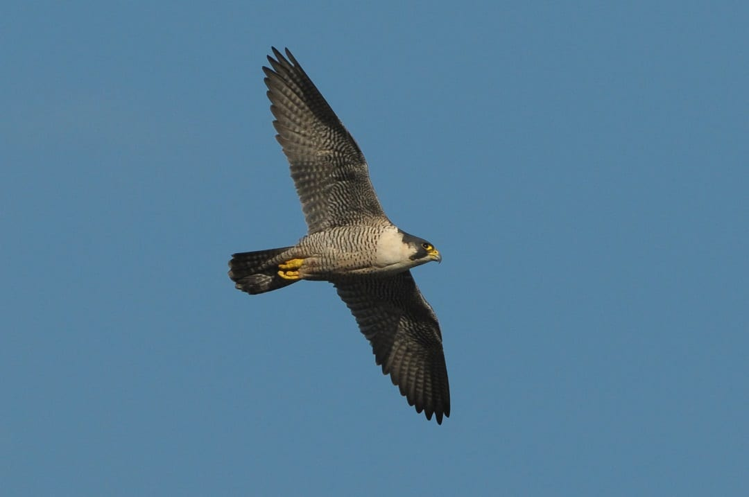 peregrine-falcon-in-flight