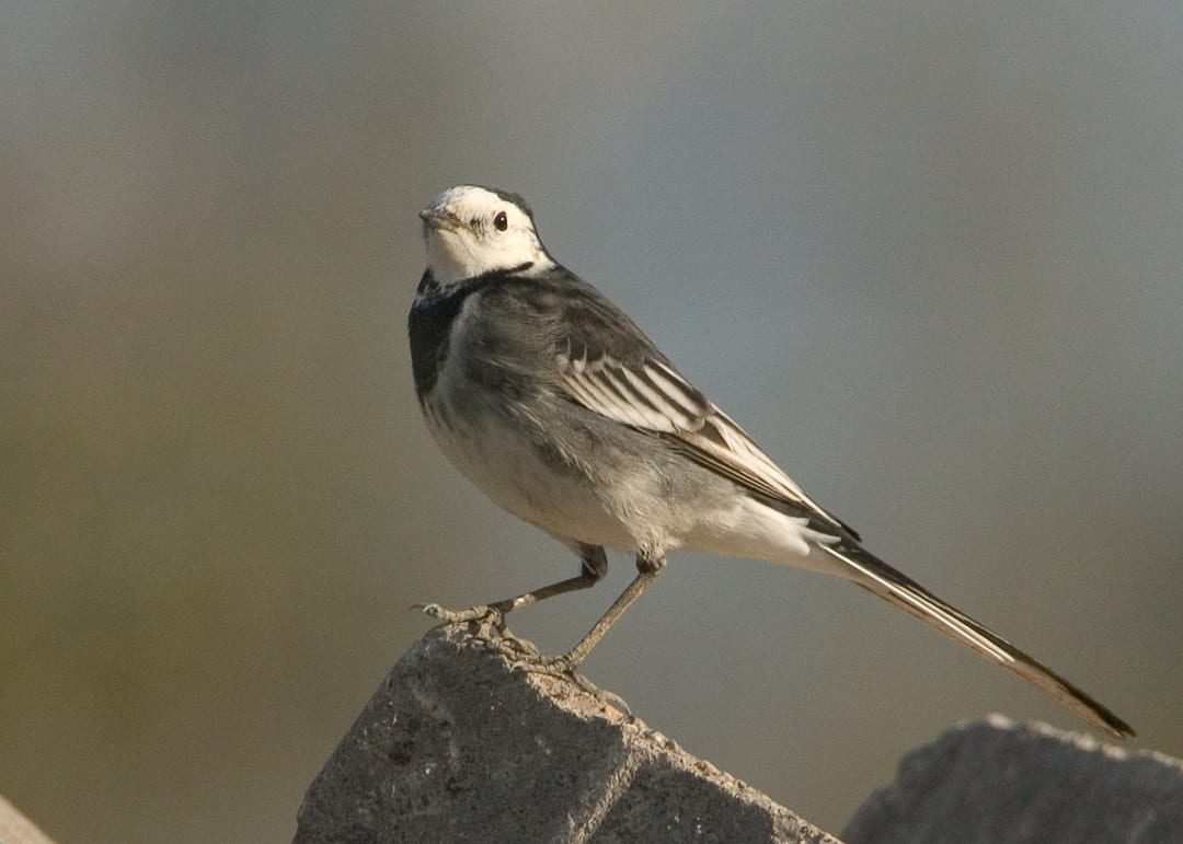 pied-wagtail-standing-on-brick