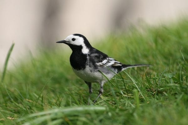 pied-wagtail-standing-in-grass