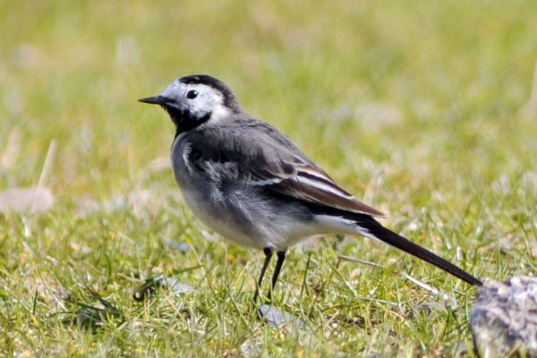 pied-wagtail-in-grass