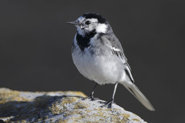 pied-wagtail-standing-on-stone