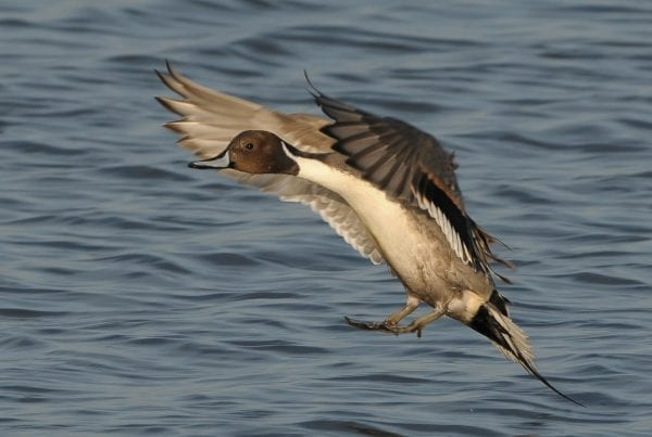 Male-Pintail-landing-on-water