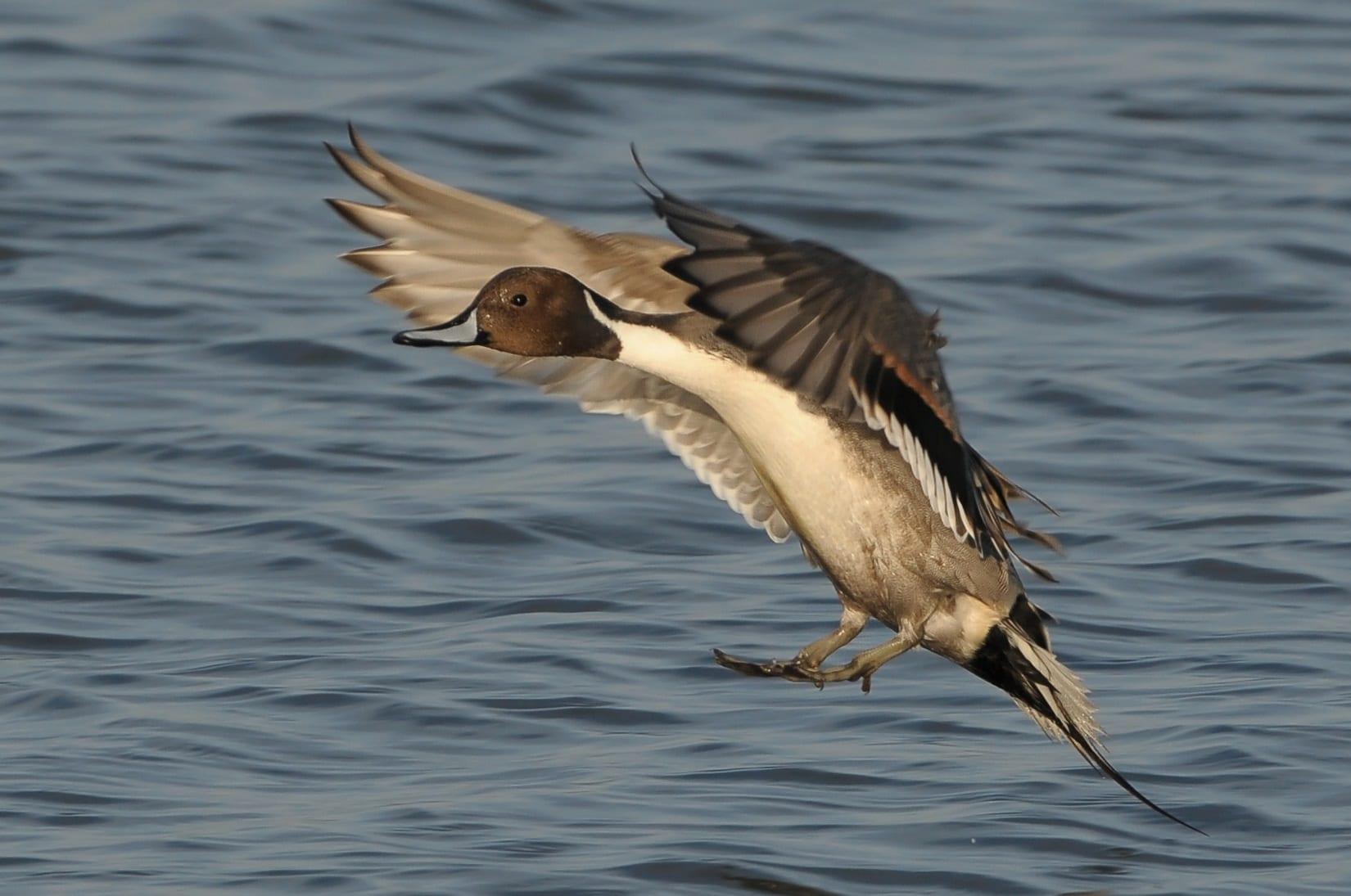 Male-Pintail-landing-on-water