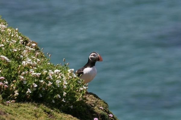 puffin-standing-on-cliff-side