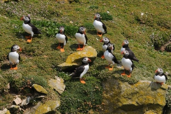 numerous-puffins-standing-on-green-cliff-side