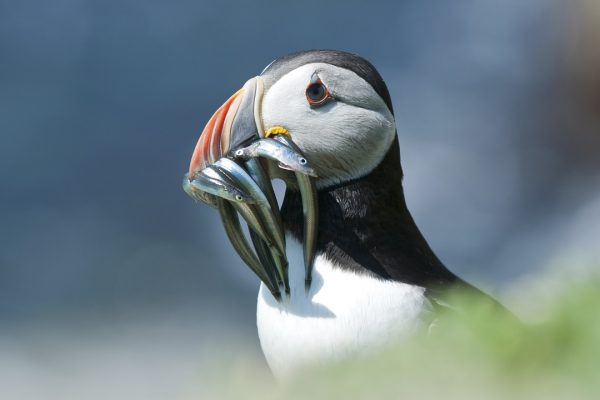 puffin-with-fish-prey-in-beak