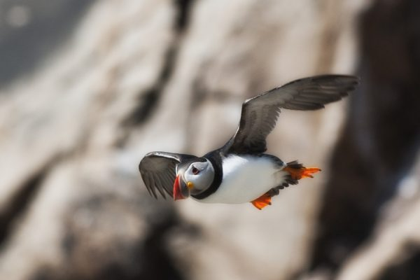 puffin-in-flight