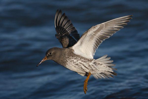 purple-sandpiper-in-flight-sea-background
