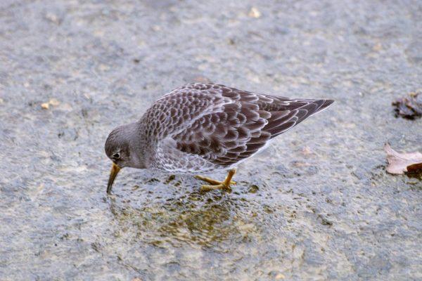 purple-sandpiper-foraging-on-rock